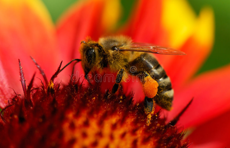 Bee on flower. Image shows a bee been busy on a flower royalty free stock photos
