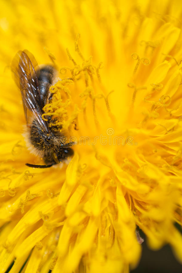 Download Bee in flower stock image. Image of close, macro, agriculture - 25315787