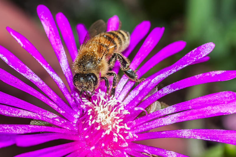Download Bee on a flower stock photo. Image of petal, color, busy - 26914436