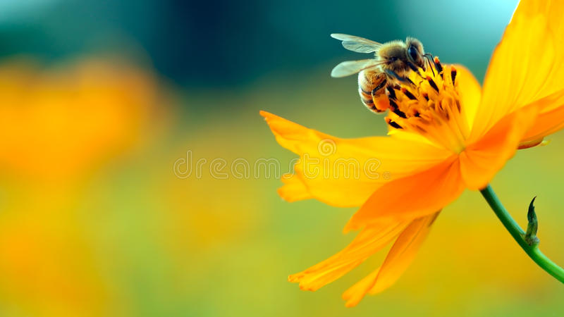 Honey bee and flower. Honey bee on yellow flower collect pollen royalty free stock photos