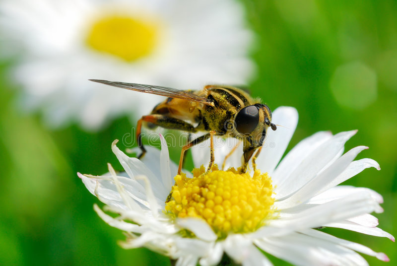 Bee in the flower. Macro shot royalty free stock photos