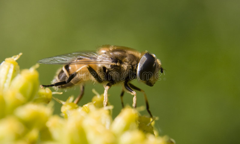 Bee on flower. (nature detail royalty free stock photos