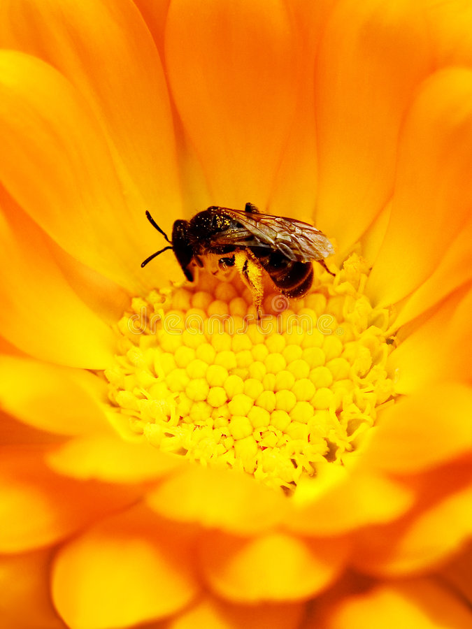 Bee in Flower. Macro shot of Bee Pollinating a Bright Yellow Flower royalty free stock photography