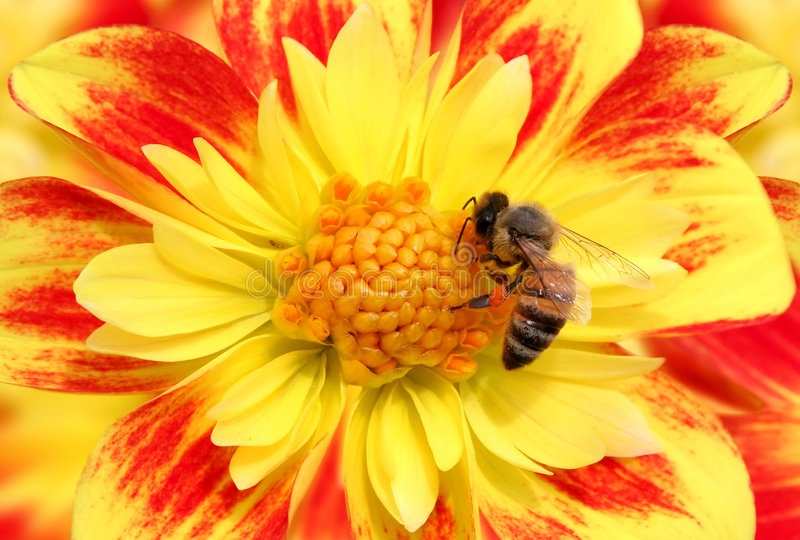 Bee on flower. Bee on summer flower (nature royalty free stock image