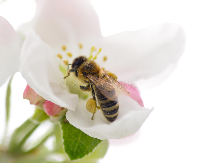 Bee and flower. Bee on the apple flower royalty free stock images