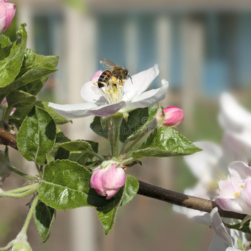 Bee on a flower apple trees. Honey bee collects nectar on the flowers apple trees stock photo