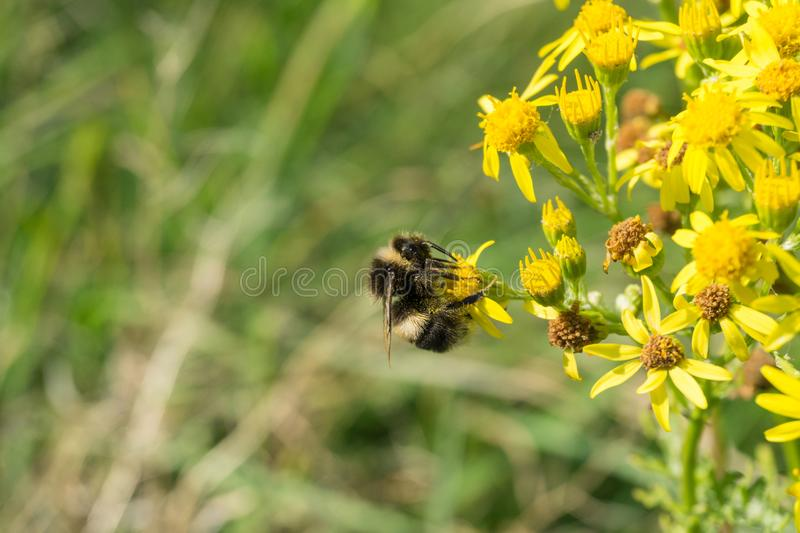 Bee on a flower. Close up royalty free stock images