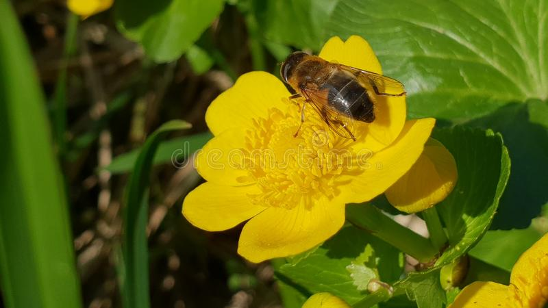 Bee on flower. Bee on yellow flower april 2018 royalty free stock photos