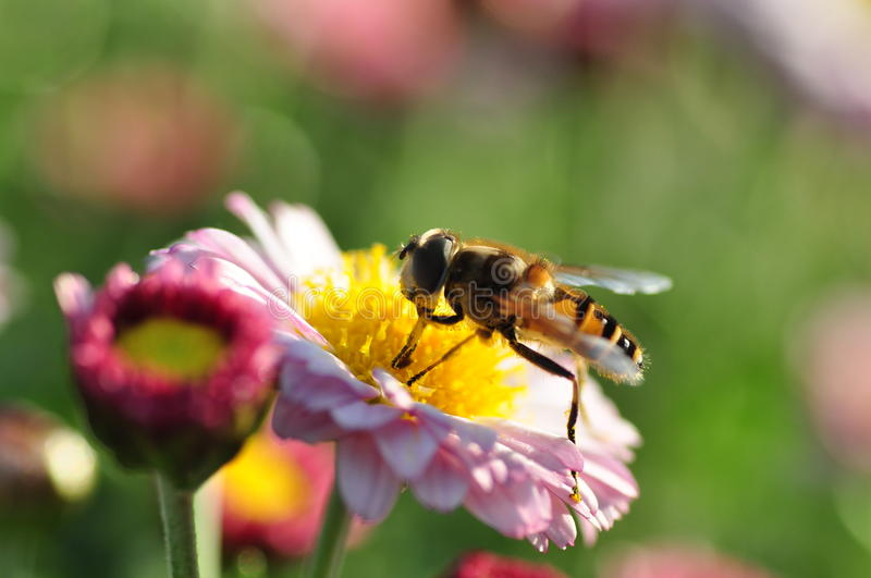 Bee in Flower. A bee is busy making honey on a purple chrysanthemum by close-up photography stock photo
