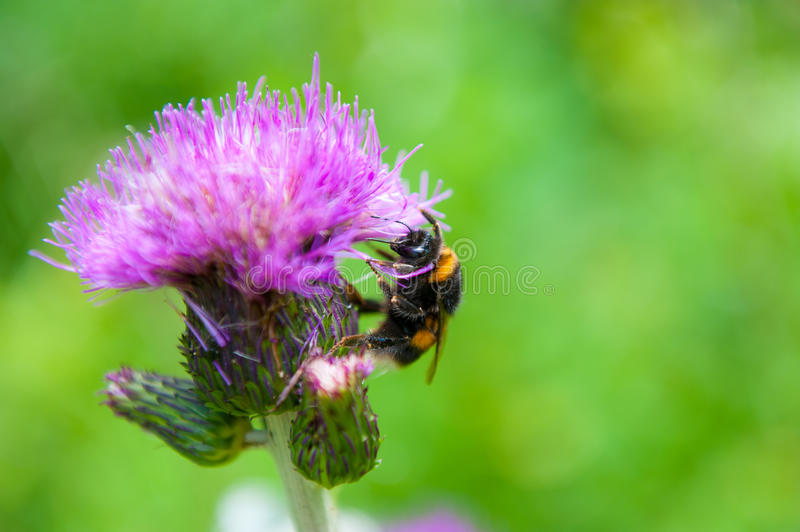 Download Bee on the flower stock image. Image of small, pollen - 36986239