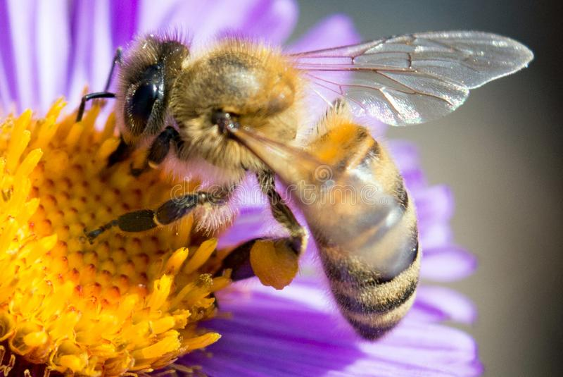 Bee on a flower close up. The bee collects honey and pollinates the flower of a medicinal plant of echinacea stock images