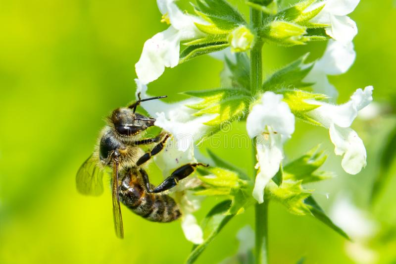 Bee on a flower close up royalty free stock photo