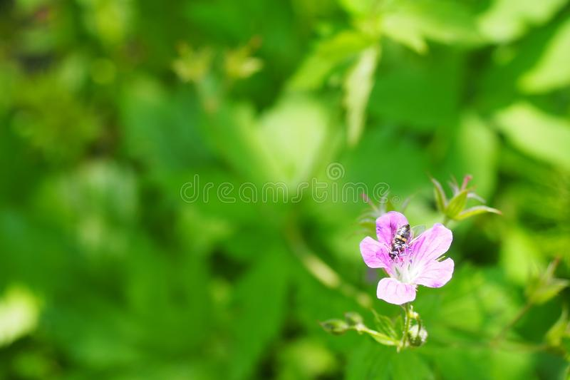 Bee on flower close up. Spring. Panorama, blur, selected focus royalty free stock images
