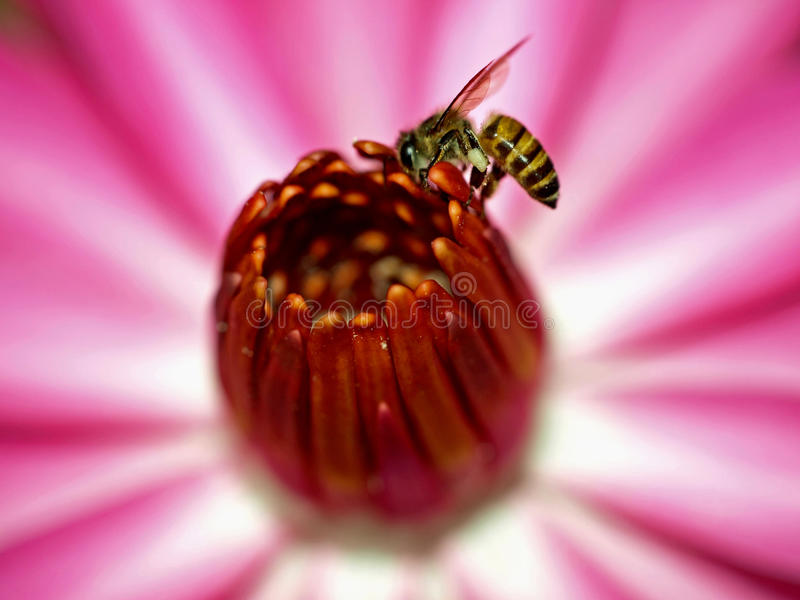 Bee And Flower Closeup Royalty Free Stock Photo