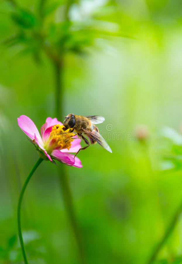 Bee on flower. Bee collect nectar from flower royalty free stock image