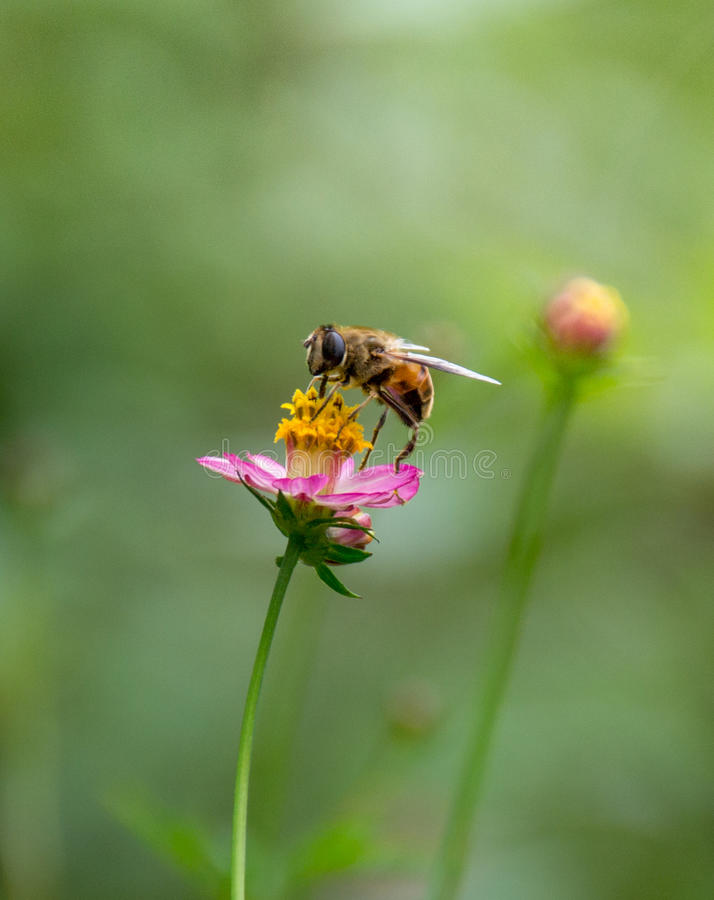 Bee on flower. Bee collect nectar from flower royalty free stock photo