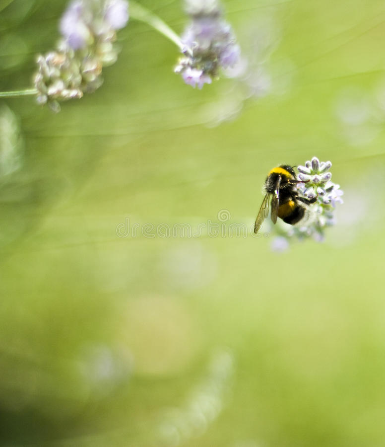 Bee on flower, collecting Pollen royalty free stock image
