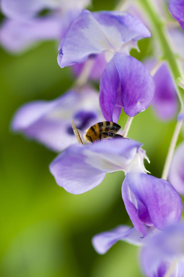 Download Bee On Flower Collecting Pollen Stock Photo - Image: 35346376
