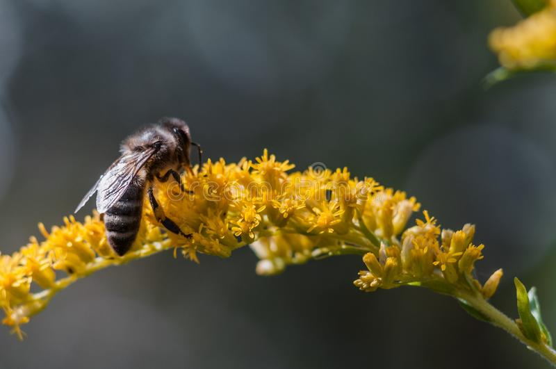 A bee on a flower collects nectar. While fighting with gusts of strong wind stock photos