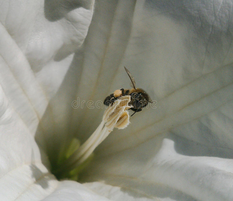 Bee on flower. Bee fertilize flower, macro royalty free stock images