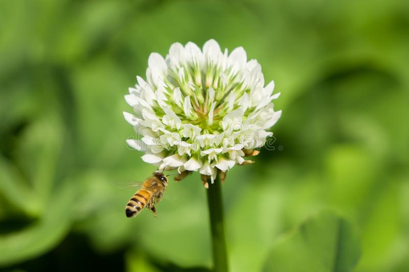 Bee and Flower. stock photo