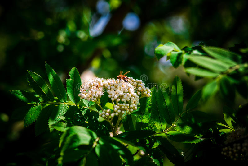 Bee and flower. Green leaves and a beautiful flower on which siting a small bee royalty free stock photo