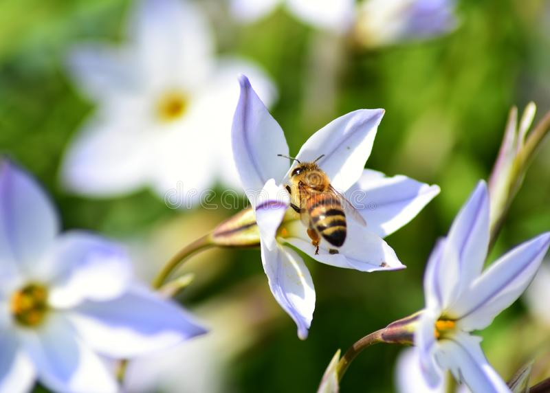 Bee on a flower. Bee flower green spring wallpaper contrast purple white single royalty free stock photography