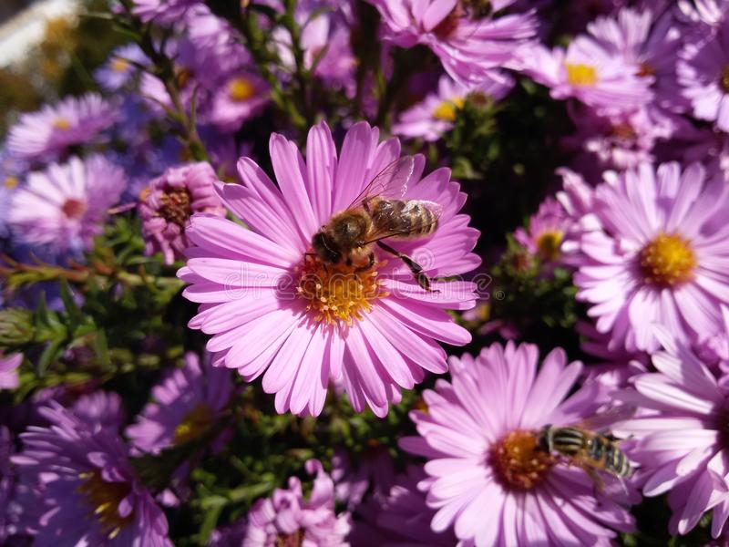 Bee on flower. Honey bee collecting pollen on the flower royalty free stock photography