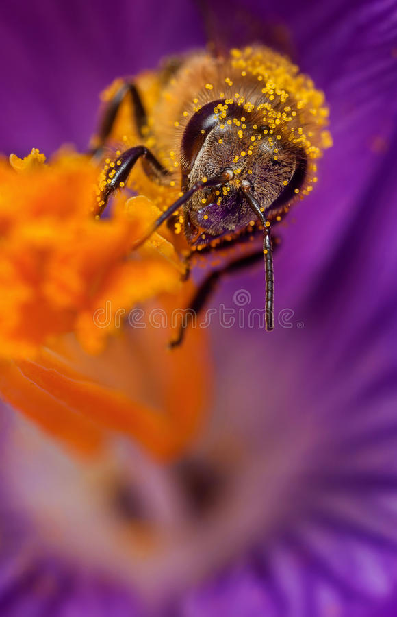 Bee in flower. Honey bee collects pollen on a flower royalty free stock images