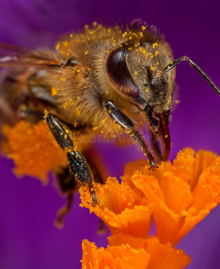 Bee in flower. Honey bee collects pollen on a flower stock images