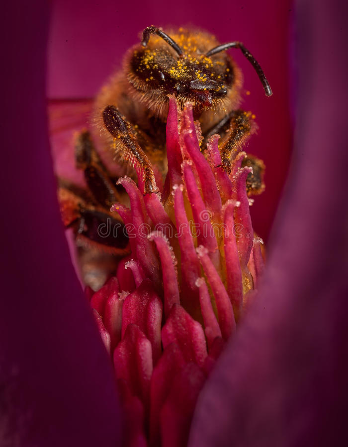 Bee in flower. Honey bee collects pollen on a flower royalty free stock photos