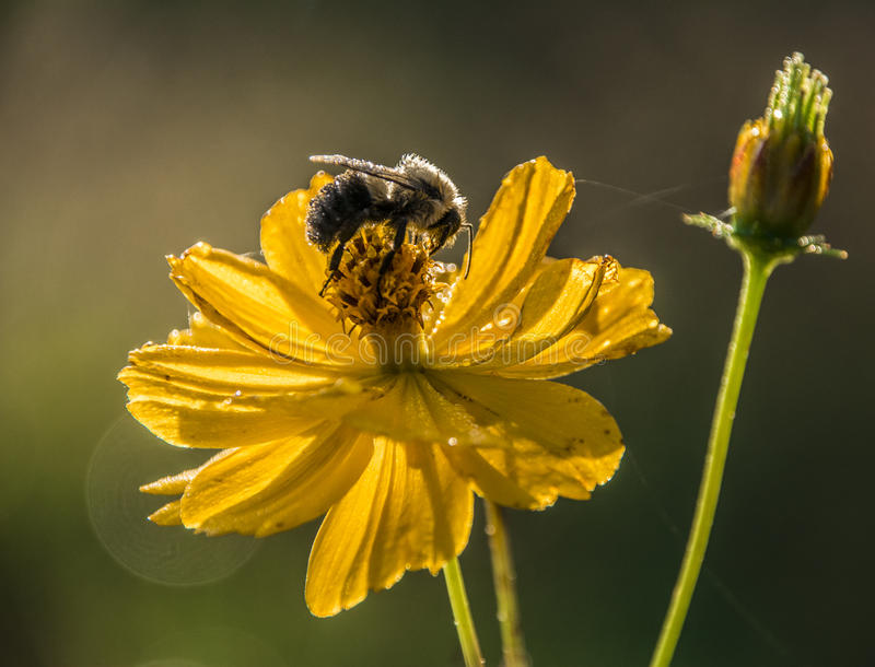 Bee on a flower royalty free stock image