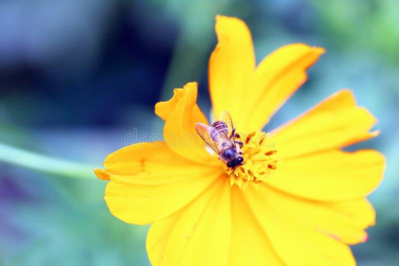 Bee on flower. Honey bee on yellow flower oxeye daisy stock photos