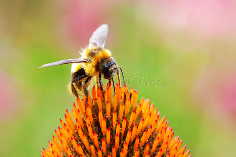 A bee and flower. A bee keeper and yellow flower royalty free stock images