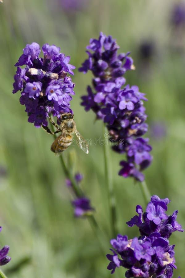 flower Lavandula
