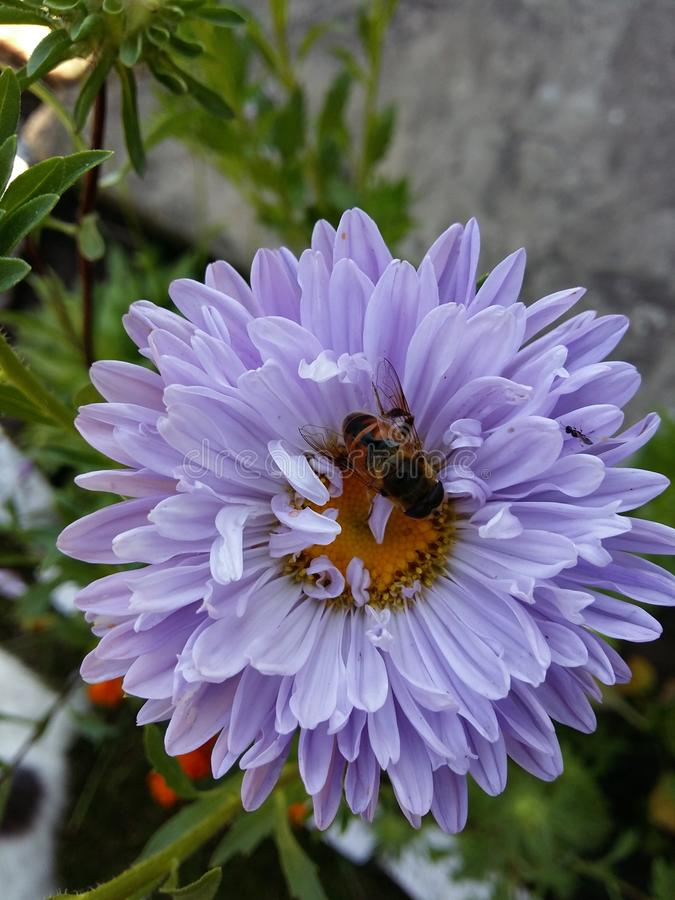 Bee in the flower royalty free stock image