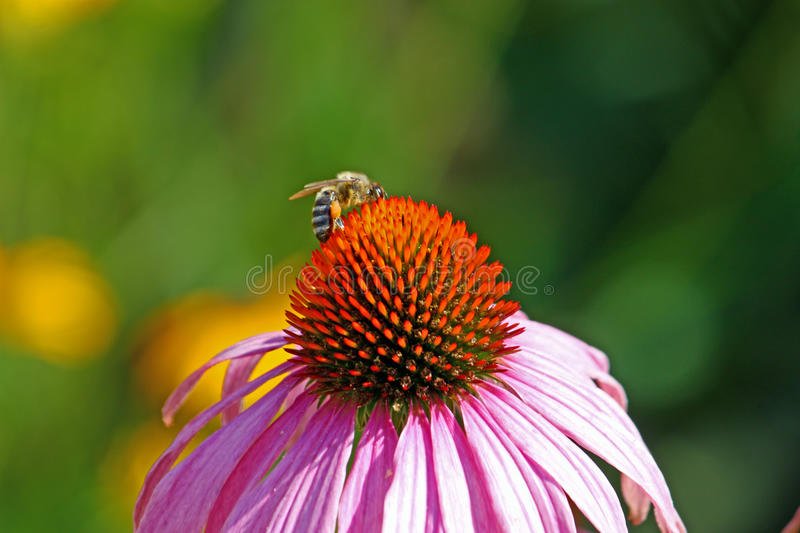 Bee on the flower. A little bee on the flower, close-up stock images