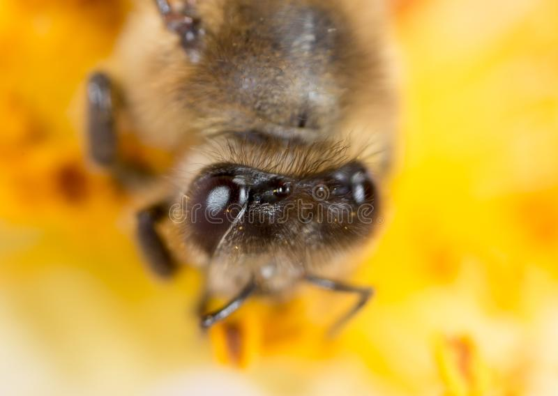 Bee on a flower. macro royalty free stock images
