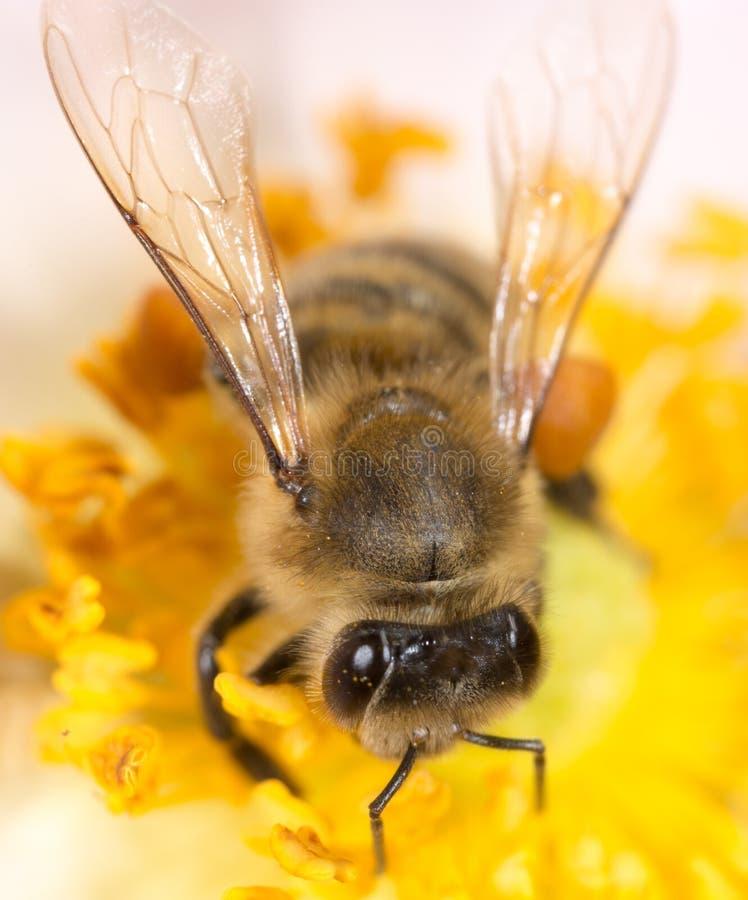 Bee on a flower. macro stock image