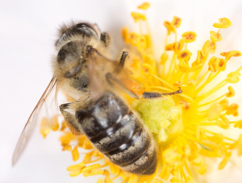 Bee on a flower. macro stock photo