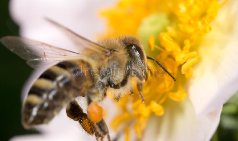 Bee on a flower. macro stock images