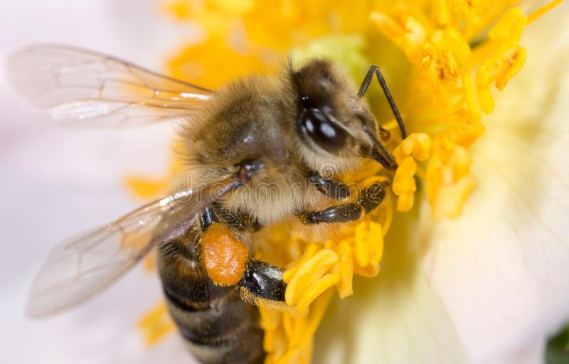 Bee on a flower. macro stock photo