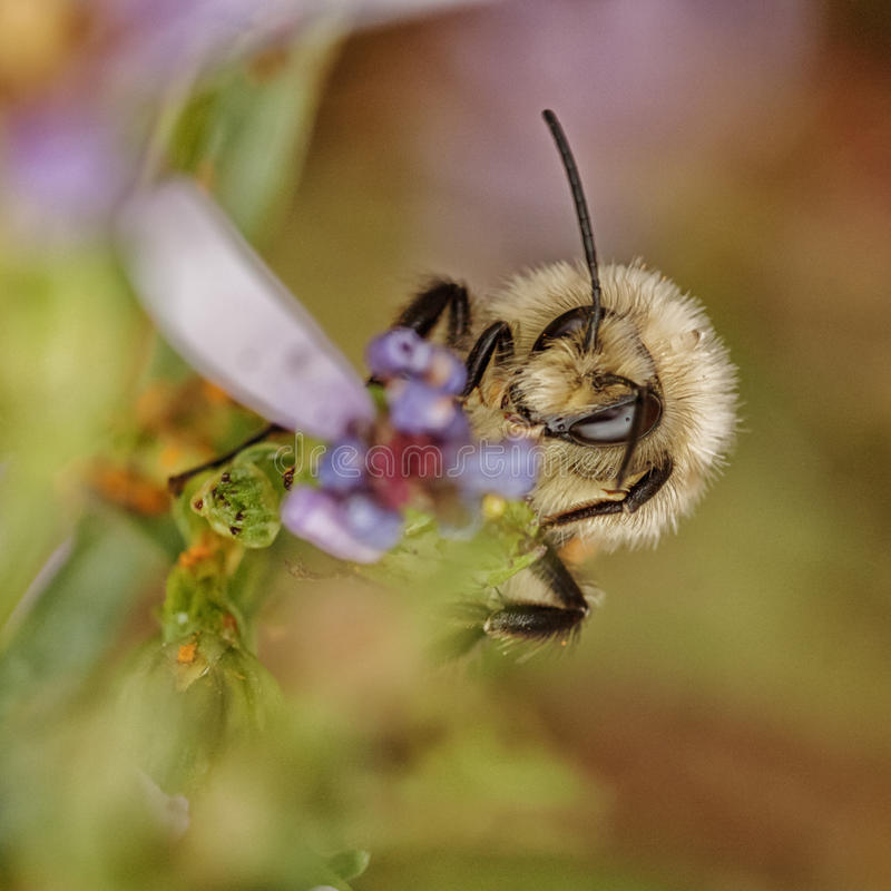 Download Bee on a Flower stock photo. Image of apoidea, animal - 59108448