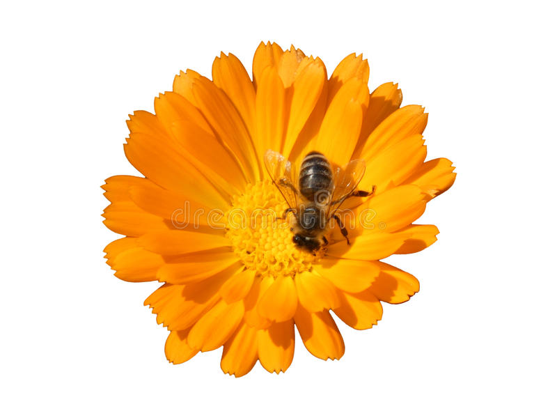 Bee on the Flower of Marigold Calendula Officinalis Isolated stock image
