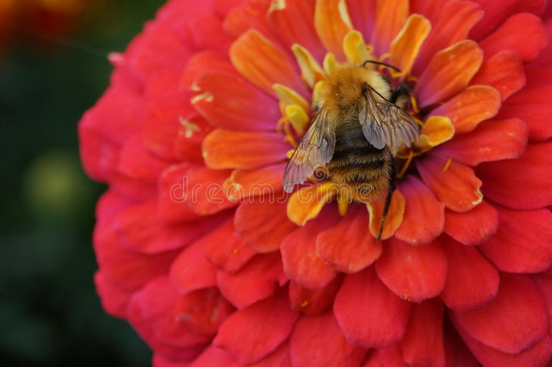Bee on a flower royalty free stock photos
