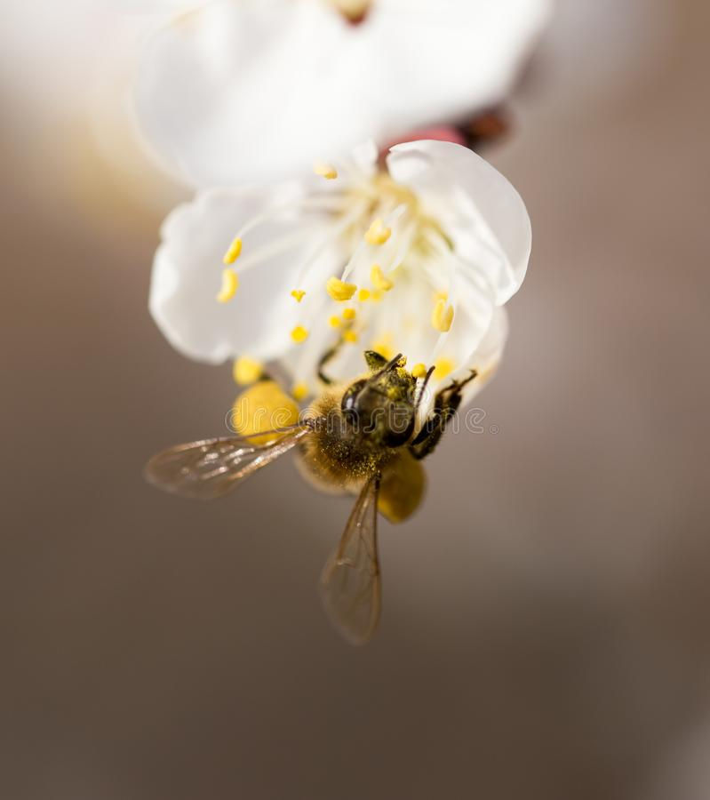 Bee on a flower in the nature. macro.  royalty free stock image
