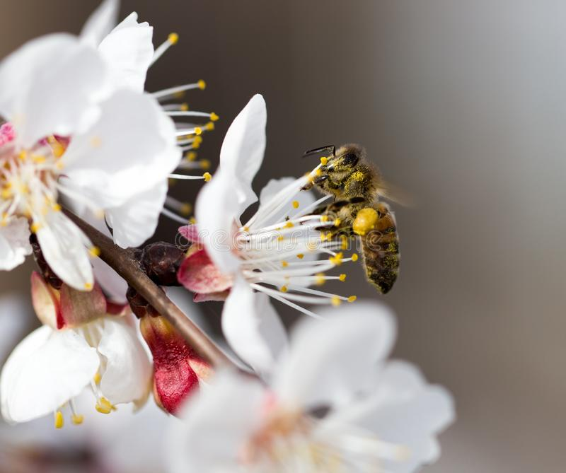 Bee on a flower in the nature. macro royalty free stock images