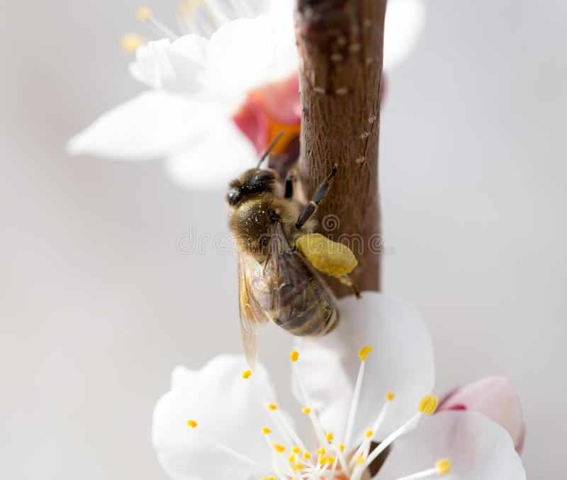 Bee on a flower in the nature. macro.  royalty free stock images