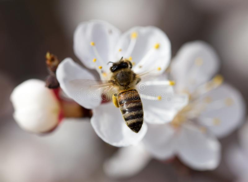 Bee on a flower in the nature. macro.  royalty free stock photo
