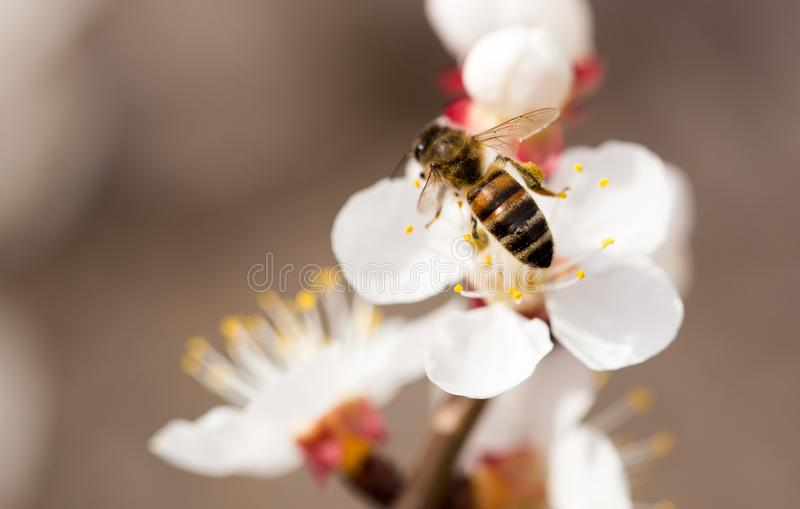 Bee on a flower in the nature. macro.  royalty free stock photos